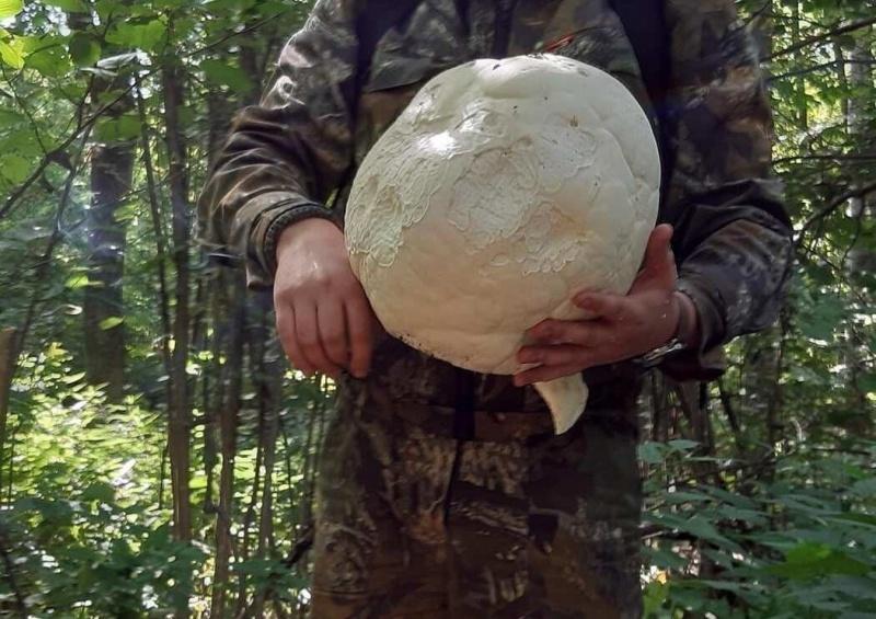 В Липецкой области продолжают находить гигантские грибы
